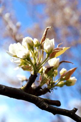 Apfelbirnenblüte