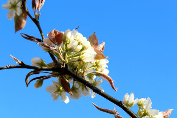Apfelbirnenblüten